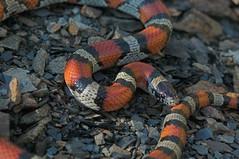Milk Snake (kaptainkory) Tags: usa milk ar reptile snake unitedstatesofamerica milksnake kingsnake legless squamata squamate snakelampropeltisgentilis