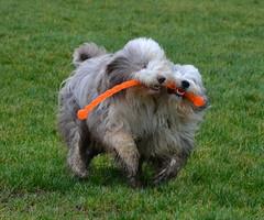 Shove off (babskenara) Tags: dog field fun happy play mud dirt beardie beardedcollie share bargemon barkenbear