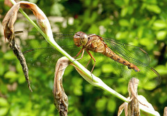 I'm resting! (Solifree) Tags: nature dragonfly natureza libelula wonderfulworldofmacro flickrstruereflection1 flickrstruereflection2