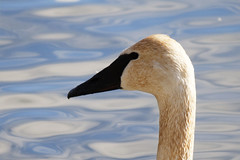 Close Up (Yann Tastayre) Tags: winter ontario canada bird animal burlington canon rebel bay hamilton goose xs 55250mm