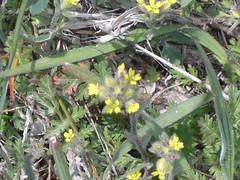 2010.04.14_14.21.34_CIMG2918 (andrey_zharkikh) Tags: alyssum alyssoides