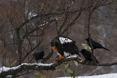 Feeding Eagle #1 - With some hungry looking crows for company...........