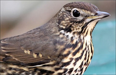 Song Thrush Visit (Judy's Wildlife Garden) Tags: songthrush beautifulmarkings judykennett knightonpowys