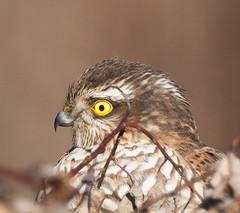 Sperber, NGIDn999202819 (naturgucker.de) Tags: accipiternisus sperber sterreich niedersterreich naturguckerde robruck cjonatanwatzl ngidn999202819