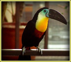 Toucan play at that game (makeupanid) Tags: niagarafalls bill toucan colourful captive vignette beaks avairy reprocessed featherfriday specanimal forbigbeaks