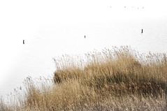 Hinterm Deich (ausschnittsweise) # 1 (ajurgenowski) Tags: lake reed netherlands pool landscape coast eau nederland zeeland côte shore paysage teich landschaft paysbas schilf watercourse niederlande étang kueste roseau kamperland littoral debanjaard gewaesser noordbeveland hintermdeich nikond90 provinciezeeland behindthedike