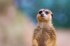 Meerkat (generalstussner) Tags: cute look canon eos meerkat dof bokeh smooth bubbles stare interested erdmnnchen 200mm f32 iso1000 1dmarkiv ef70200mmf28lisiiusm