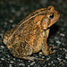 Fowler's (x American?) Toad