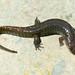 Seal Salamander
