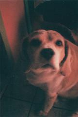 gordines [R.I.P.] (Ana Carolina Vasconcelos) Tags: dog cute beagle iso100 lomography experimental fuji diana softfocus fatdog halfframe fofo lomografia lofiphotography dianamini
