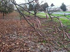 hazelnut Hall's Giant catkin (growing hazelnuts) Tags: farming treeroots hazelnuts hazelnuttree plantingtrees nurserystock yearlingtree pollenizinghazelnuts