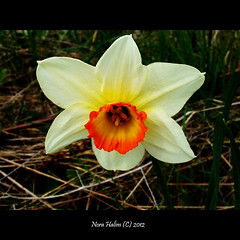 Daffodil (nora2810) Tags: white flower colour nature beautiful yellow spring daffodil tulip onion tulipan pskelilje lk fujifilmfinepixs9500