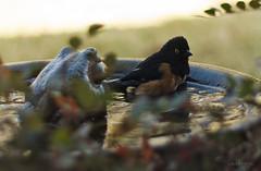 Bathing Towhee (Lallee) Tags: bird nature water bath florida bathing towhee