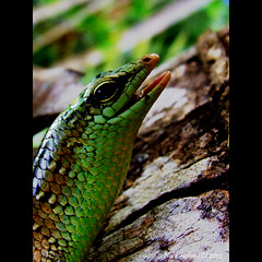 Finally its friday again ;) (nora2810) Tags: colour cute green nature smile comel lizard smiley reptiles fujifilmfinepixs9500