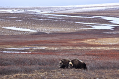 "Moschusochsen, North Slope, Alaska (2) • <a style=""font-size:0.8em;"" href=""http://www.flickr.com/photos/73418017@N07/6730309233/"" target=""_blank"">View on Flickr</a>"