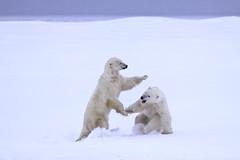 "Eisbären Cape Churchill. Hudson Bay, Kanada (7) • <a style=""font-size:0.8em;"" href=""http://www.flickr.com/photos/73418017@N07/6730323231/"" target=""_blank"">View on Flickr</a>"