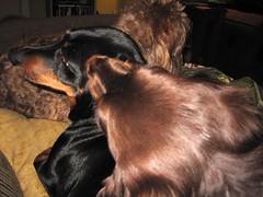 dog chien pet frank hound canine dachshund perro grooming hund link wienerdog dackel teckel k9 jimmydean doxie sausagedog aplaceforportraits pointyfaceddog