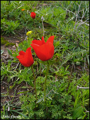 Red Pair (Zachi Evenor) Tags: flowers red flower nature israel farm hill sharon anemone    calanit coronaria anemonecoronaria     kalanit      zachievenor    shikmim