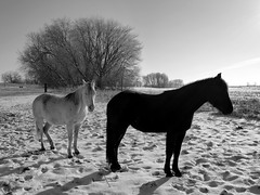 Pasture iced (LeicaNokota) Tags: leica morning light horses bw horse sun snow cold silhouette early frost january warmth pasture prints iced hoof mn equine stables soaking earlyevening hennepincounty dlux4 pastureiced