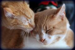 Floydd loves Leo (judecat (doing battle)) Tags: cats love cat kitten affection grooming felines youmademyday redtabbies