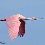 Roseate Spoonbill in flight (Platalea ajaja)