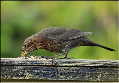 FEMALE BLACKBIRD (Shaun's Wildlife Images....) Tags: blackbirds shaund