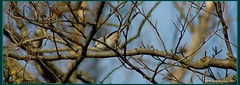 Codibugnolo (Aegithalos caudatus) (franco nadalin) Tags: birds natura panasonic ali uccelli volo friuli aegithalos caudatus piume fz150 codibugnolo franconadalin