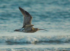 Curlew in flight (Alistair Prentice.) Tags: ireland sea irish nature beautiful up fauna wow newcastle seaside amazing wings flora open close pentax wildlife birding flight wide sigma 150 shore sightings identification 500 prentice northern birder curlew kx portadown rspb wader curlews birdphotographer