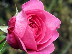 Pink Rose oder Tender love [EXPLORE] (Andylinchen) Tags: pink flower macro colors rose canon germany garden deutschland petals natur ausflug blte koblenz buga g10 canonpowershotg10