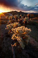 A gaggle of Cholla (Mike Olbinski Photography) Tags: sunset arizona cactus mountains desert cholla canon1740f4l canon5dmarkii 20110202