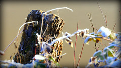 still frosty (2) (thostme) Tags: schnee winter snow cold leaves frost stump bltter 4seasons reif baumstumpf