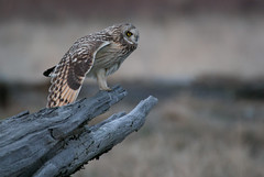 Short-eared Owl 01 (sgbaughn) Tags: shortearedowl