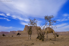 Camels Food - Explore (TARIQ-M) Tags: sky cloud tree landscape desert camel camels riyadh saudiarabia hdr   canoneos5d                canonef1635mmf28liiusm canoneos5dmarkii   100606169424624226321postsnajd12sa