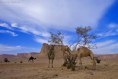 Camels Food - Explore (TARIQ-M) Tags: sky cloud tree landscape desert camel camels riyadh saudiarabia hdr الصحراء جمال canoneos5d الرياض سماء غيوم صحراء جبل جبال غيم سحب جمل ابل سحابة نياق سما المملكةالعربيةالسعودية ناقة canonef1635mmf28liiusm canoneos5dmarkii طويق جبالطويق 100606169424624226321postsnajd12sa