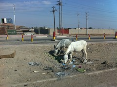 Donkeys on the Roadside, Basrah, Iraq