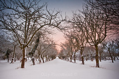 Snowy Orchard (Olly Plumstead) Tags: uk morning pink blue winter white snow tree sunrise canon landscape early kent mark infinity perspective peach orchard symmetry line ii symmetrical 5d february olly plumstead ollyplumstead
