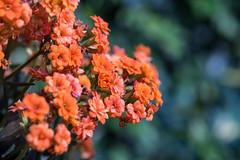 Kowloon Park, Hong Kong (kelvintkn) Tags: leica plant flower colour 35mm t hongkong asia sony 100mm fe elmar manualfocus tsimshatsui macrolens autofocus sonnar primelens rmount emount sonyfesonnart35mmf28za leicar100mm14macroelmarr3cam