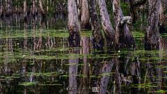 Swamp Paperbark 14|52 (jrazarcon) Tags: trees windows water john landscape ed nikon rocks nt palmerston australia darwin waterlilies swamp nikkor 800 vr afs cpl wetland northernterritory 70200mm paperbark topend wetseason azarcon f28g leefilter jrazarcon 2014week14