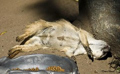 MEERKAT 300_270 (Dancing with Ghosts Graphics) Tags: copyright cute animal mammal meerkat pups small gang mob 300 clan mongoose angola sentry suricate burrows suricatta desert diurnal 2013 fawncolored herpestid iteroparous kalahari dwgg namib debbrawalker feliform dancingwghosts suricata suricatta botswana oraging siricata majoriae iona