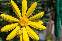 _DSC5380.jpg (d3_plus) Tags: life flowers food flower japan lunch nikon bloom   kanagawa kawasaki thesedays    nikon1 theseday 1nikkor 1nikkor185mmf18 nikon1j3 1nikkor18mmf18 nikon1 j3 1nikkorvr10100mmf456