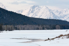 Moose on Oxbow Bend (Free Roaming Photography) Tags: trees winter usa mountain snow mountains cold west ice water birds animal pine standing mammal frozen stand geese nationalpark spring wildlife freezing ducks moose willow swans evergreen cottonwood western northamerica wyoming icy teton waterfowl tetons moran grandteton willows thaw canadageese jacksonhole cottonwoods lodgepolepine thawing grandtetonnationalpark willowtrees trumpeterswans tetonmountains signalmountain oxbowbend cottonwoodtrees