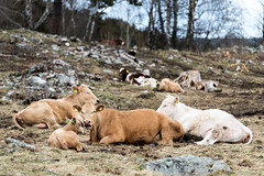 Lunchtime (Sigurd R) Tags: travel norway norge spring cattle farming ringebu gudbrandsdalen
