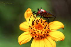 Chinche rojo (Nikacer) Tags: world naturaleza flower nature work flickr natural flor insecto natgeo chinche nikacer