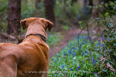 Jakes Path._ (Simon Sid Bartle Photography) Tags: dogs nature bluebells forest labrador path