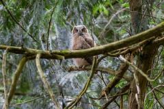 Great-horned Owl Fledgling (OwlPurist) Tags: oregon portland fledgling greathornedowlbubovirginianus