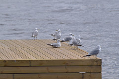 Gulls sitting on a pier (JonasSuni) Tags: sea bird water animal fauna suomi finland outdoor wildlife