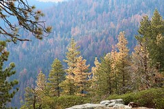 Pine trees dying (daveynin) Tags: forest nps dying disease