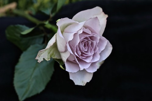 """Purple rose """"Memory Lane"""""""