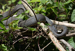 3 watersnakes, mixed species basking (slider5) Tags: ms basking noxubee nerodia diamondbackwatersnake yellowbelliedwatersnake