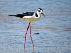 Black-necked Stilt (Kremlken) Tags: birds blackneckedstilt puertorico birding aves stilts caborojo shorebirds